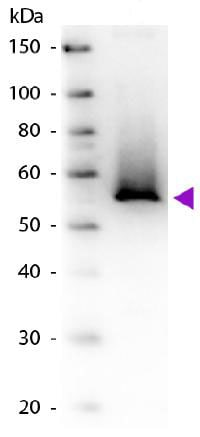 Western blot - Anti-Glutamine Synthetase antibody (ab181625)