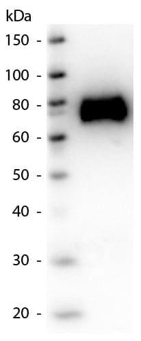Western blot - Anti-Glucose Oxidase antibody (ab181638)