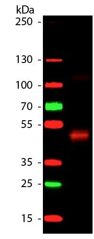 Western blot - Anti-HRP antibody (ab181658)