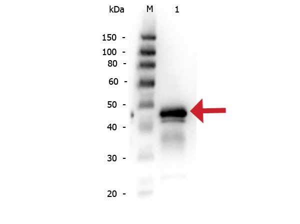 Western blot - Anti-Ovalbumin antibody (ab181688)