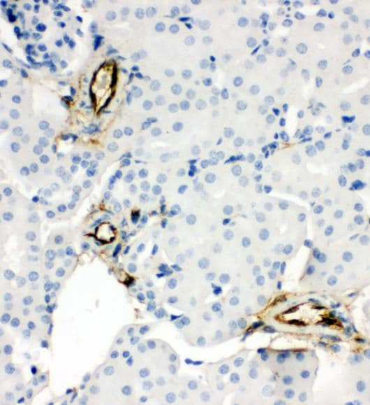 Immunohistochemistry (Formalin/PFA-fixed paraffin-embedded sections) - Anti-Adiponectin antibody - C-terminal (ab181699)