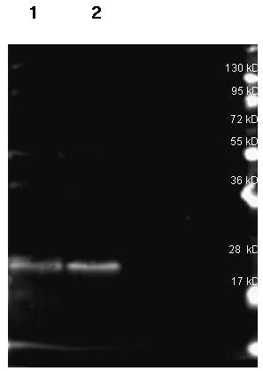 Western blot - Anti-B Phycoerythrin antibody (ab181711)