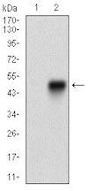 Western blot - Anti-SCP3 antibody [6F9C5] (ab181746)