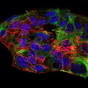Immunocytochemistry/ Immunofluorescence - Anti-SCP3 antibody [6F9C5] (ab181746)