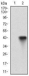Western blot - Anti-CD22 antibody [2H1C4] (ab181771)