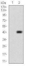 Western blot - Anti-PTP4A2/PRL2 antibody [5B6F4] (ab181776)