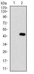 Western blot - Anti-Thyroxine Binding Globulin antibody [1C3H11] (ab181778)