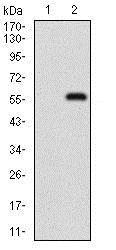 Western blot - Anti-p95/NBS1 antibody [7E4C2] (ab181780)