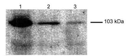 Western blot - Anti-FBXO11 antibody (ab181801)