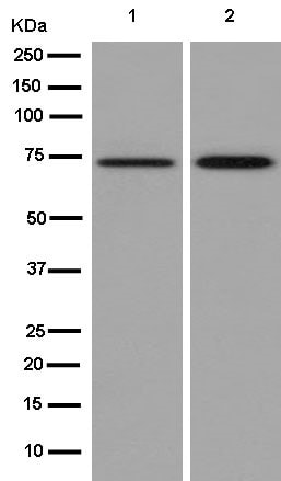Western blot - Anti-GCLC antibody [EPR13476(B)] (ab181839)