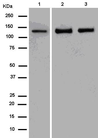 Western blot - Anti-GOLPH4/GPP130 antibody [EPR13445] (ab181849)