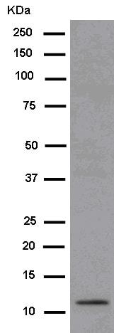Western blot - Anti-SCGB3A2 antibody [EPR11463] (ab181853)