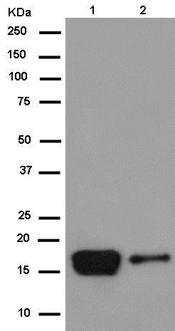 Western blot - Anti-alpha A Crystallin/CRYAA antibody [EPR14125(B)] (ab181866)