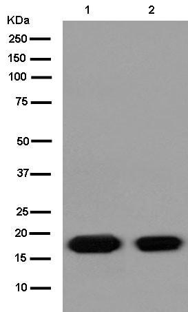 Western blot - Anti-VAMP2 antibody [EPR12790] (ab181869)