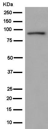Western blot - Anti-DDX21 antibody [EPR14496] (ab181870)