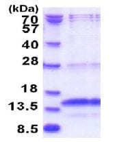 SDS-PAGE - Recombinant Human RWDD4A protein (ab181915)