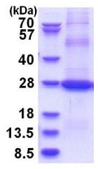 SDS-PAGE - Recombinant Human CD200 / OX2 protein (denatured) (ab181947)