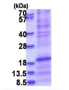 SDS-PAGE - Recombinant Human Surfactant protein D/SP-D (denatured) (ab181961)
