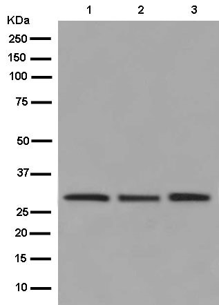 Western blot - Anti-Histone H1.2 antibody [EPR12690] (ab181973)