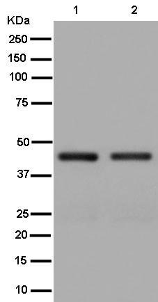 Western blot - Anti-SNF5/SMARCB1 antibody [EPR12014] (ab181976)