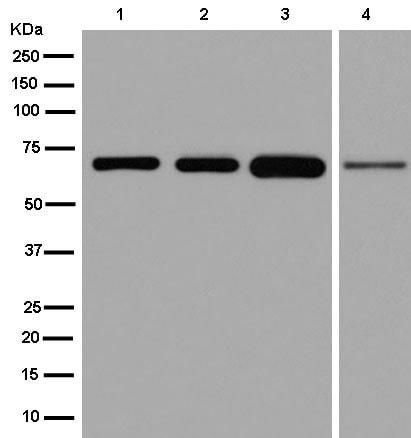 Western blot - Anti-CEECAM1 antibody [EPR13744] (ab181979)