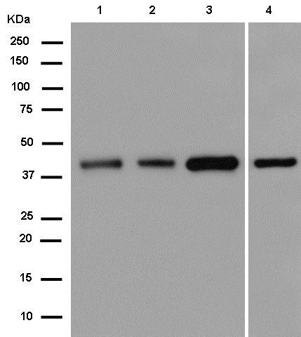 Western blot - Anti-Cyclophilin 40 antibody [EPR14845(B)] (ab181983)