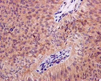 Immunohistochemistry (Formalin/PFA-fixed paraffin-embedded sections) - Anti-Cyclophilin 40 antibody [EPR14845(B)] (ab181983)