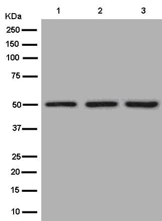 Western blot - Anti-AP3M2 antibody [EPR12966] (ab182000)