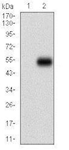 Western blot - Anti-CD14 antibody [4B4F12] (ab182032)