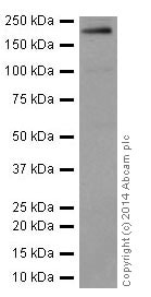Western blot - Anti-Integrin beta 4 antibody [EPR17517] (ab182120)