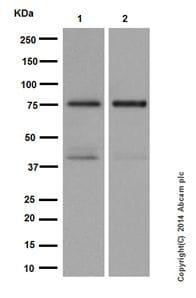 Western blot - Anti-PKC delta antibody [EPR17075] (ab182126)