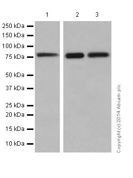 Western blot - Anti-PKC delta + PKC theta antibody [EPR17074] (ab182127)