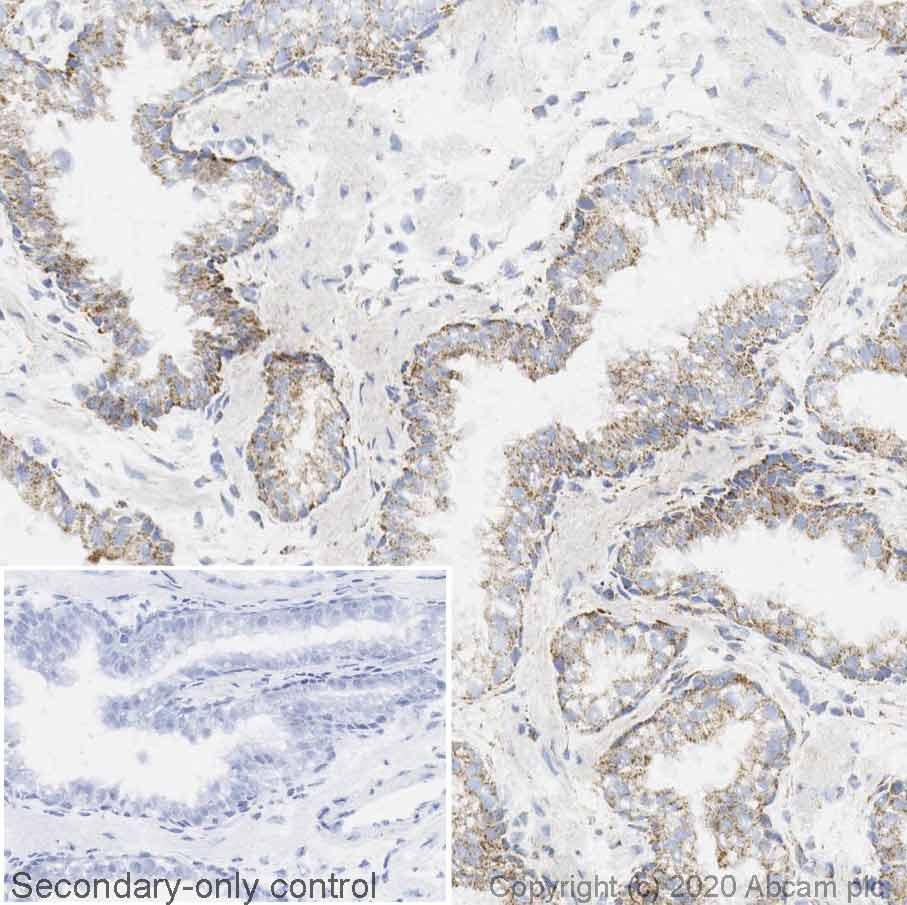 Immunohistochemistry (Frozen sections) - Anti-beta 2 Adrenergic Receptor antibody [EPR707(N)] (ab182136)