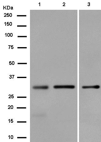 Western blot - Anti-REA antibody [EPR14523] (ab182139)