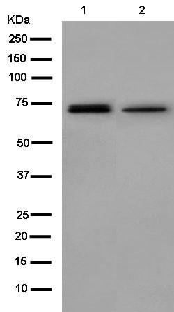 Western blot - Anti-GPD2 antibody [EPR14260] (ab182144)