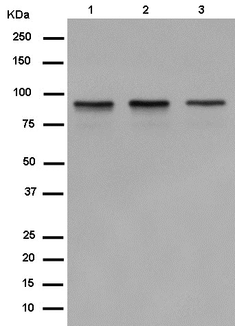 Western blot - Anti-DDX21 antibody [EPR14495] (ab182156)