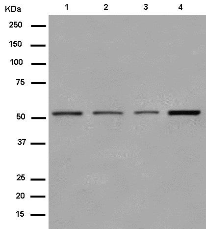 Western blot - Anti-DARS antibody [EPR14847(B)] (ab182157)