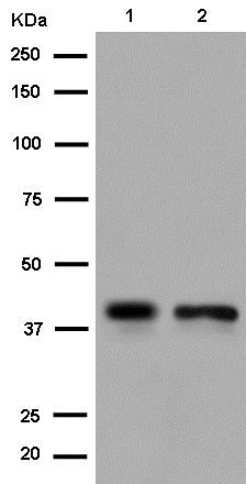 Western blot - Anti-MRPS35 antibody [EPR11731(2)] (ab182160)