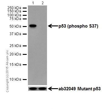 Western blot - Anti-p53 (phospho S37) antibody [EPR17353] (ab182164)