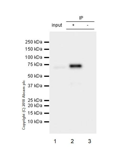 Immunoprecipitation - Anti-SHP2 antibody [Y478] - BSA and Azide free (ab182179)