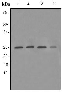 Western blot - Anti-Peroxiredoxin 6 antibody [EPR3755] - BSA and Azide free (ab182190)