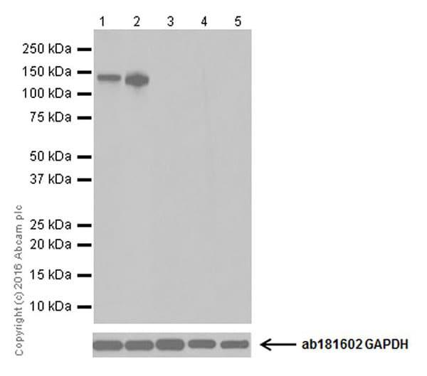 Western blot - Anti-GluN2C antibody [EPR19094] (ab182277)