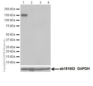 Western blot - Anti-Phospholipase C beta 1/PLCB1 antibody [EPR18895] (ab182368)