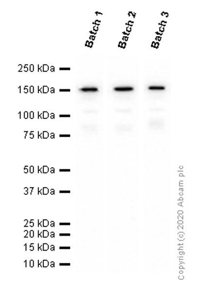 Western blot - Anti-Brd4 antibody [EPR5150(2)] - BSA and Azide free (ab182446)