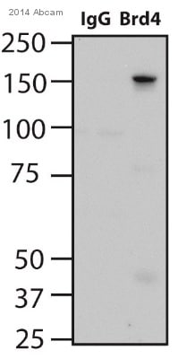 Immunoprecipitation - Anti-Brd4 antibody [EPR5150(2)] - BSA and Azide free (ab182446)