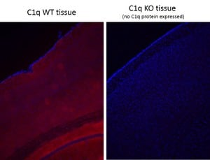 Immunohistochemistry (PFA perfusion fixed frozen sections) - Anti-C1q antibody [4.8] (ab182451)