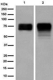 Western blot - Anti-POC5 antibody [EPR14000] (ab182554)