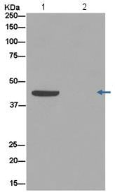 Immunoprecipitation - Anti-DAZAP1 antibody [EPR14400] (ab182558)