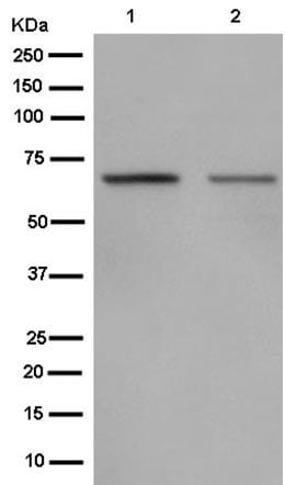 Western blot - Anti-POLD3 antibody [EP9480] (ab182564)