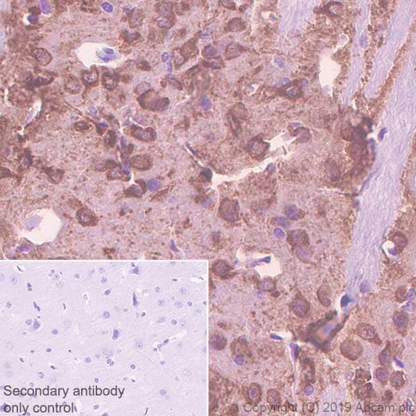 Immunohistochemistry (Formalin/PFA-fixed paraffin-embedded sections) - Anti-PDE1B antibody [EPR12293(2)] (ab182565)